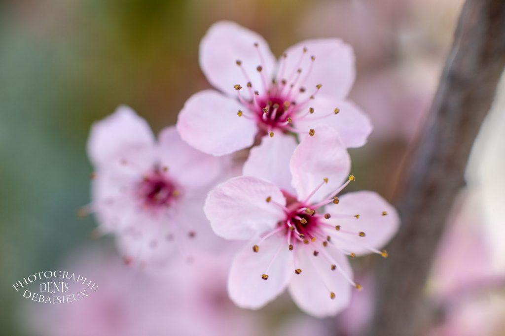 Bouquet de fleurs de prunus en macro.