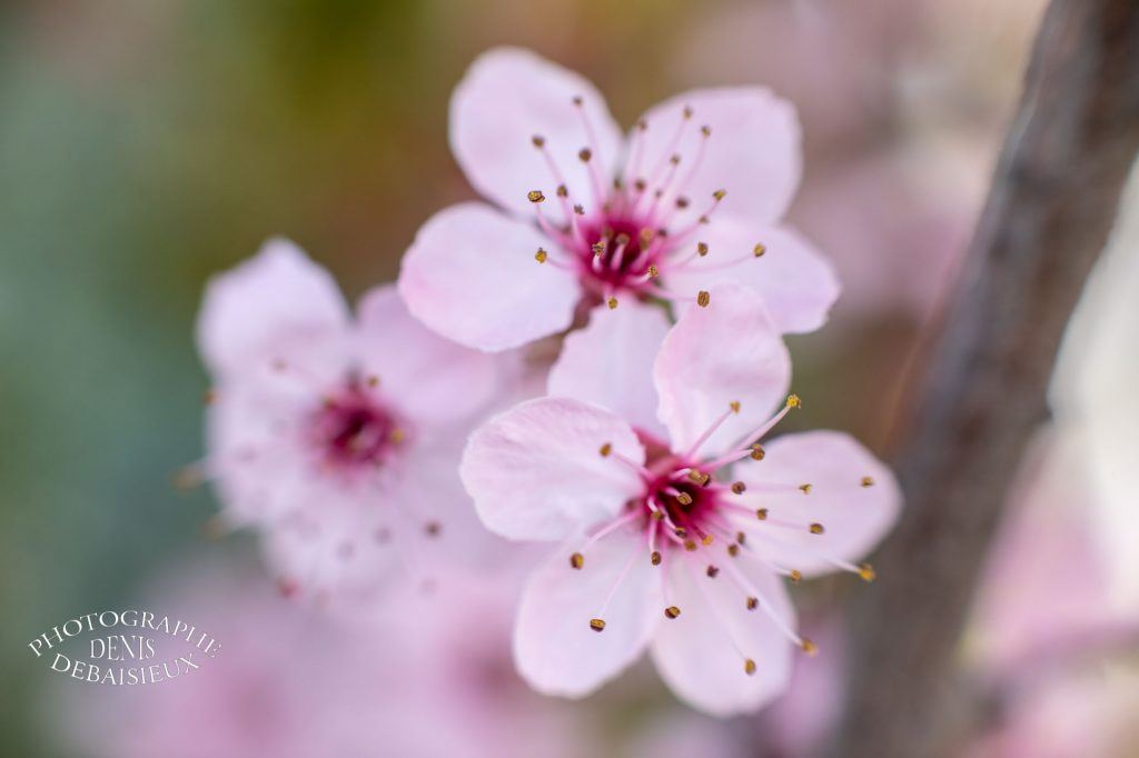 Bouquet de fleurs de prunus.